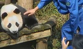 大熊猫被打 涉事饲养员停职检查